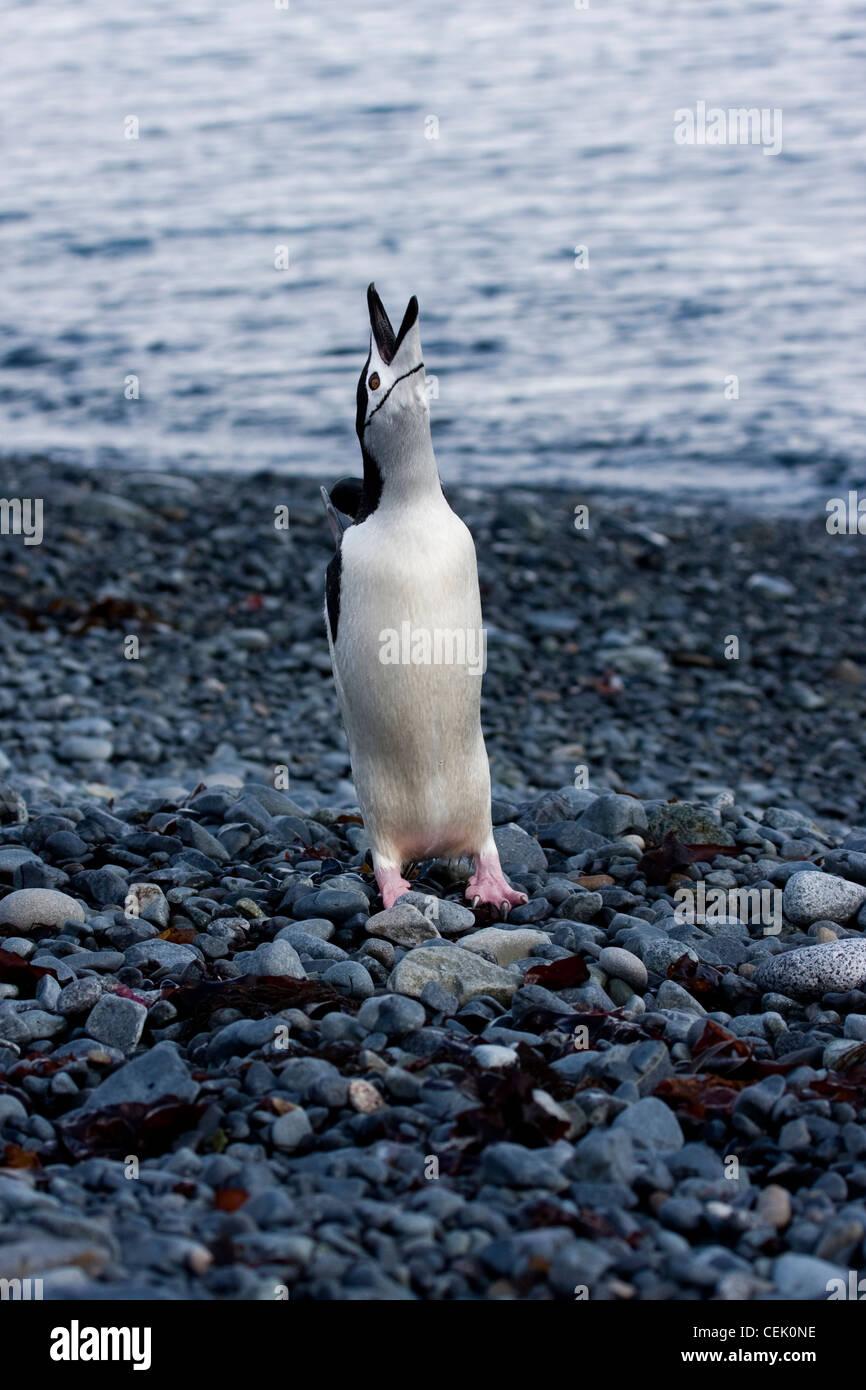 Pingüinos de barbijo de pie en la playa en la Antártida Foto de stock