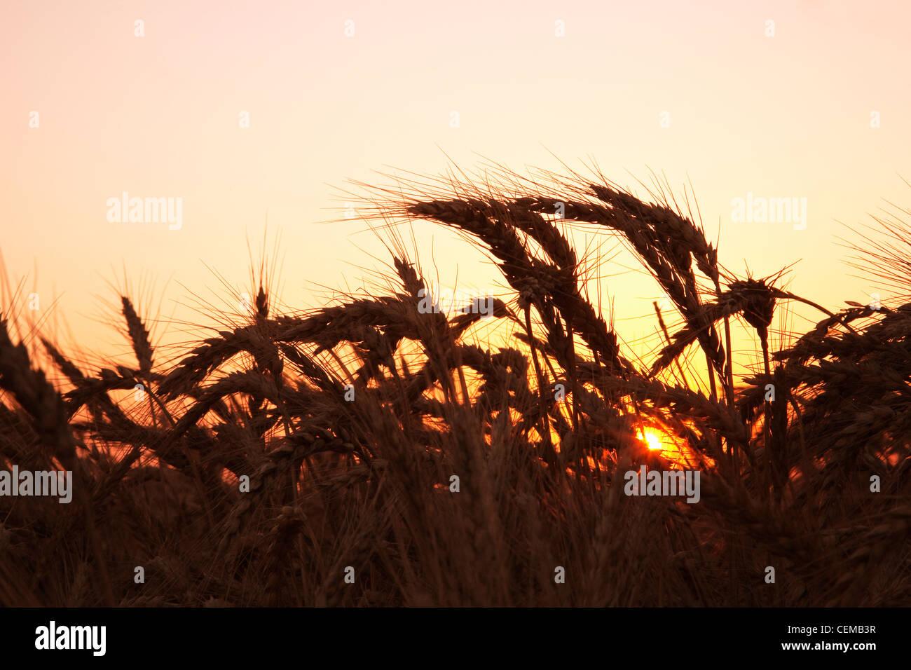 Agricultura - Madura etapa de cosecha de trigo de invierno rojo suave a finales de la primavera al atardecer / este Imagen De Stock