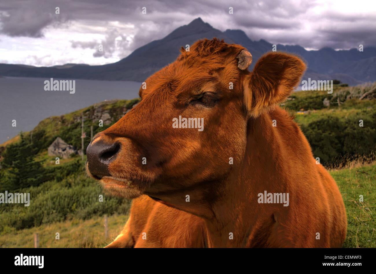 Brown Cow en la isla de Skye, islas Hébridas, Escocia, Reino Unido Foto de stock