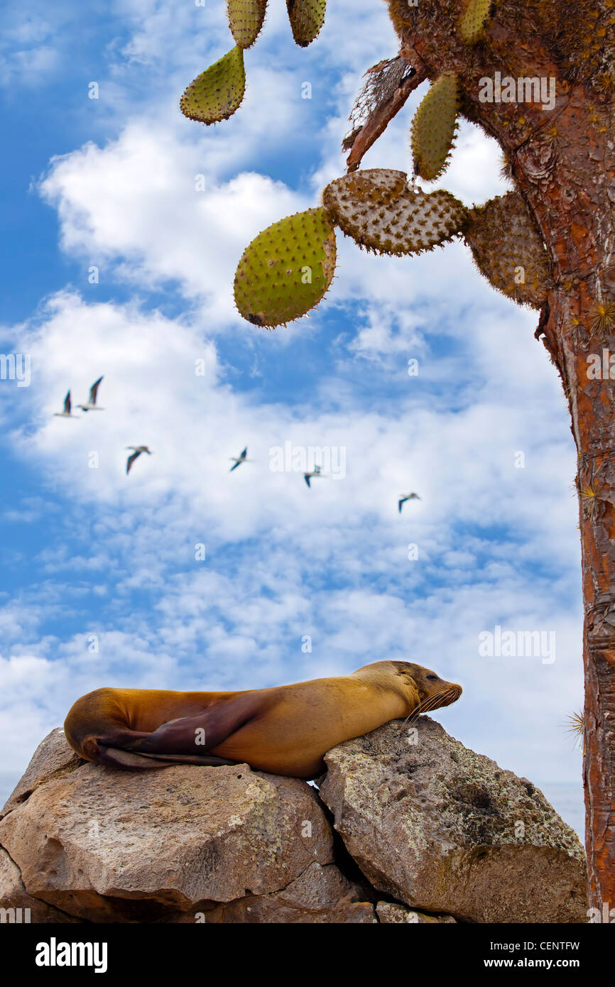 Lobos marinos descansando sobre Santa Fe, Galápagos Imagen De Stock