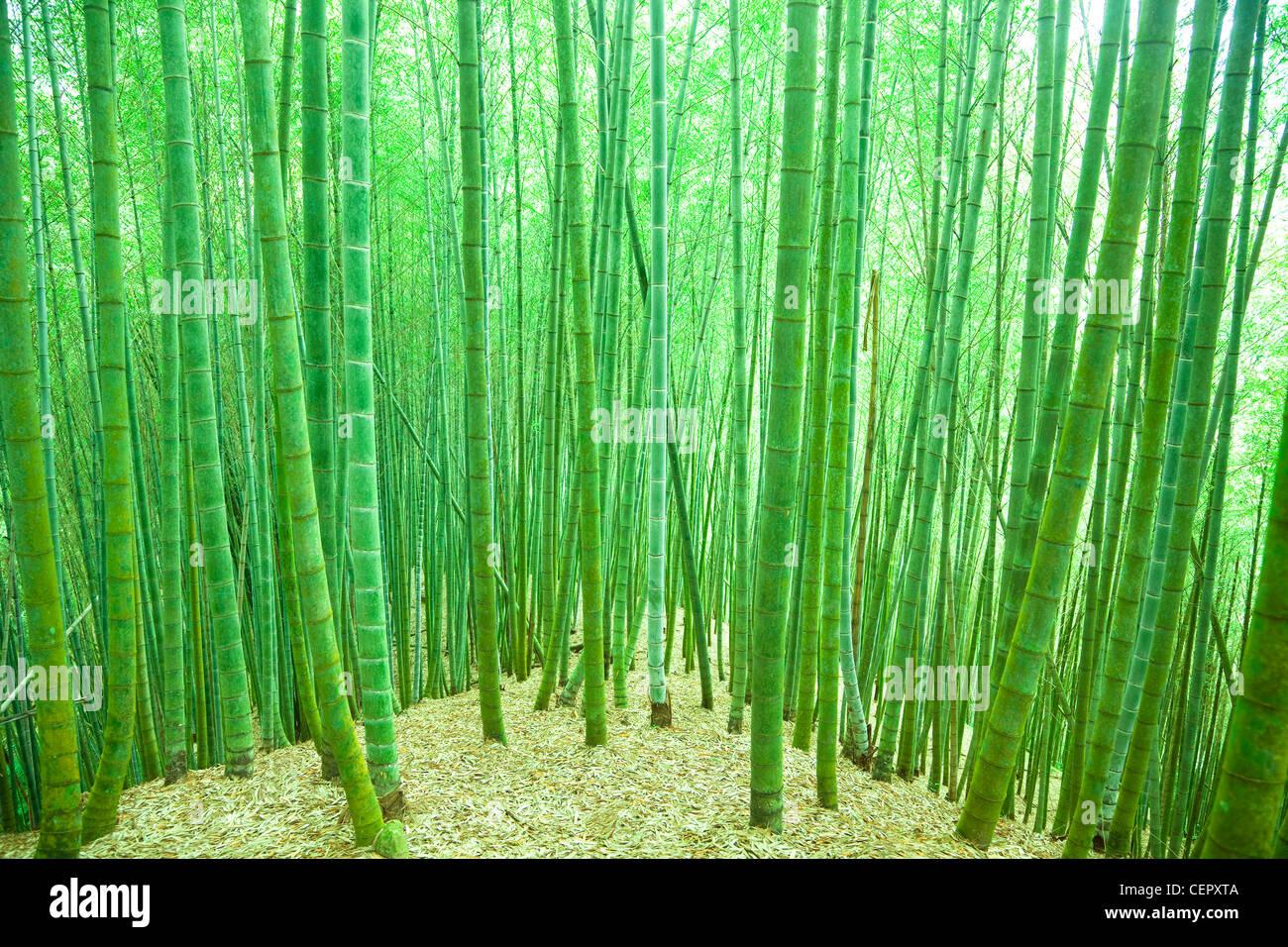 Bosque de bambú verde Imagen De Stock