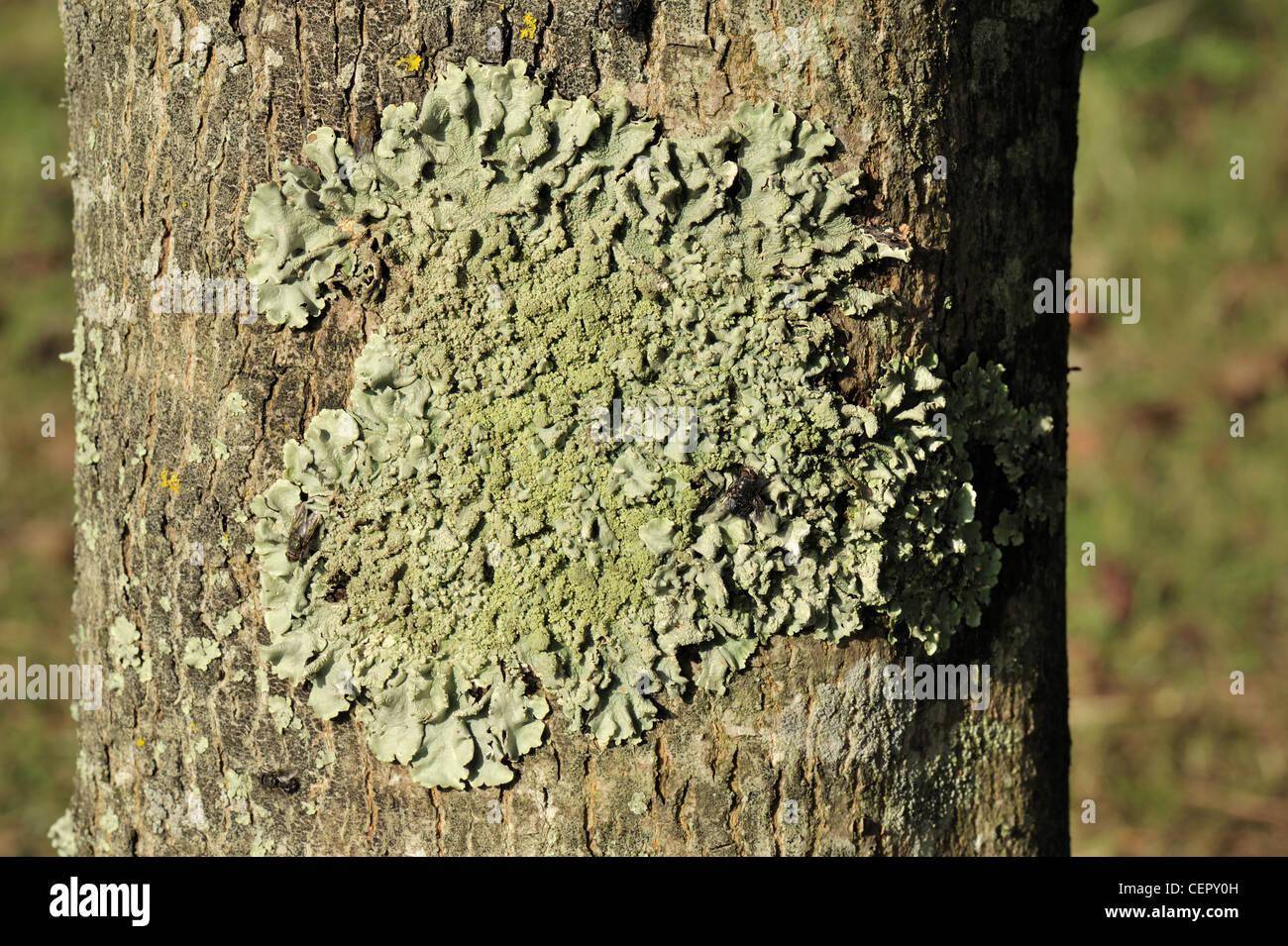 Pequeño parche de líquenes en el lado sur de un tronco de árbol de arce Imagen De Stock