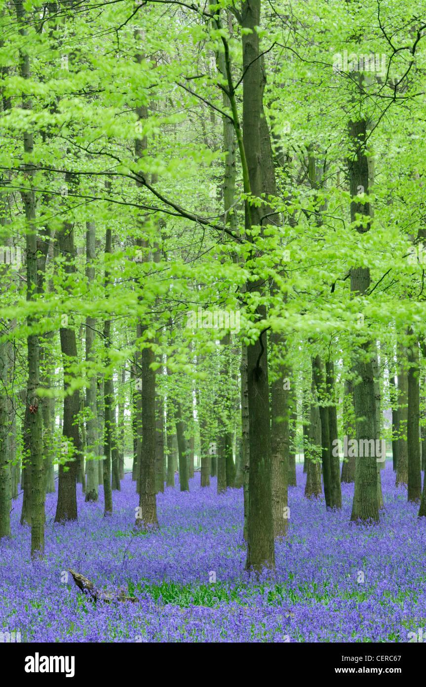 Las campánulas azules en Ashridge Dockey madera en la finca. Imagen De Stock
