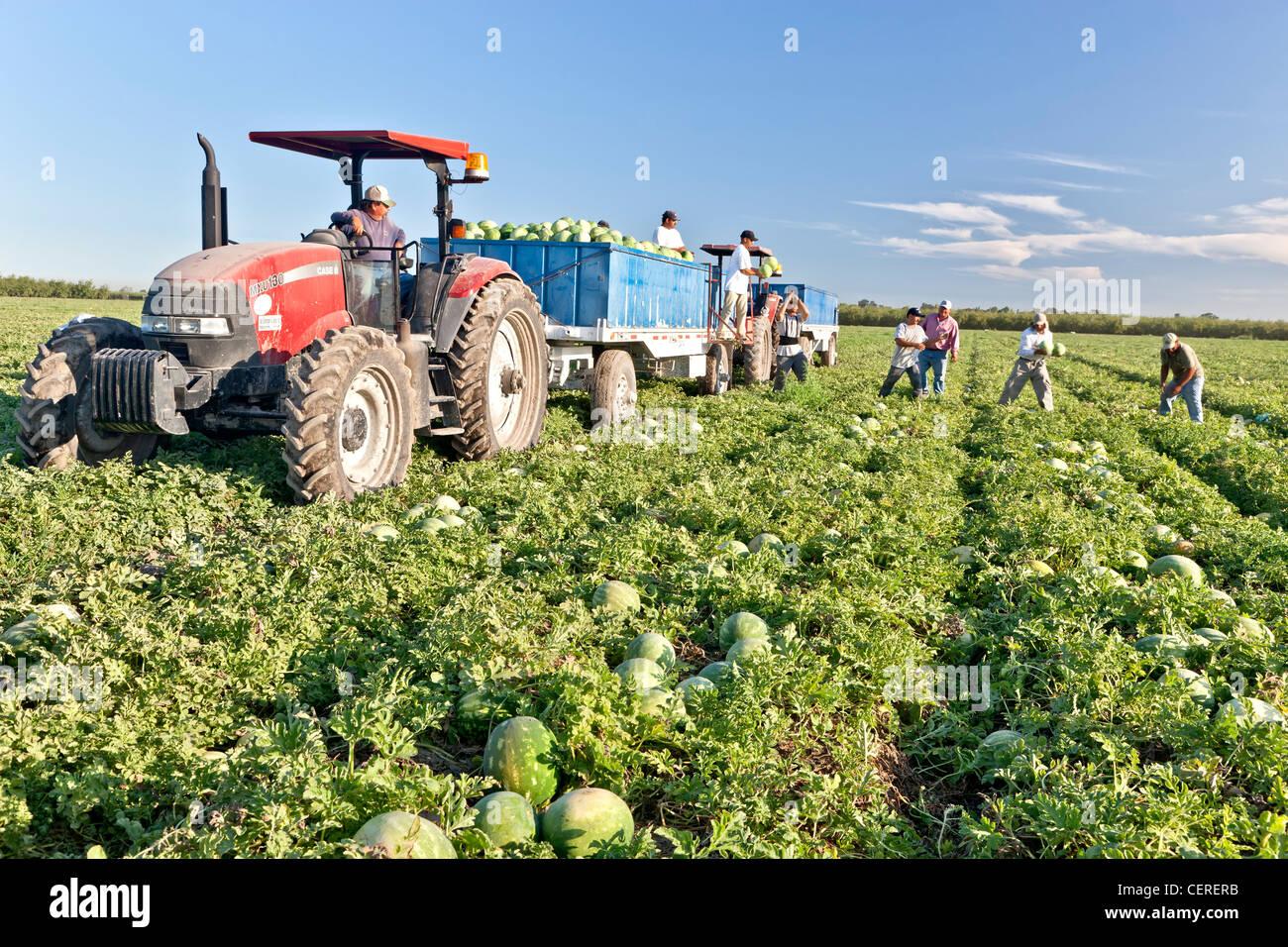 La cosecha de la sandía, los trabajadores la carga de remolque. Imagen De Stock