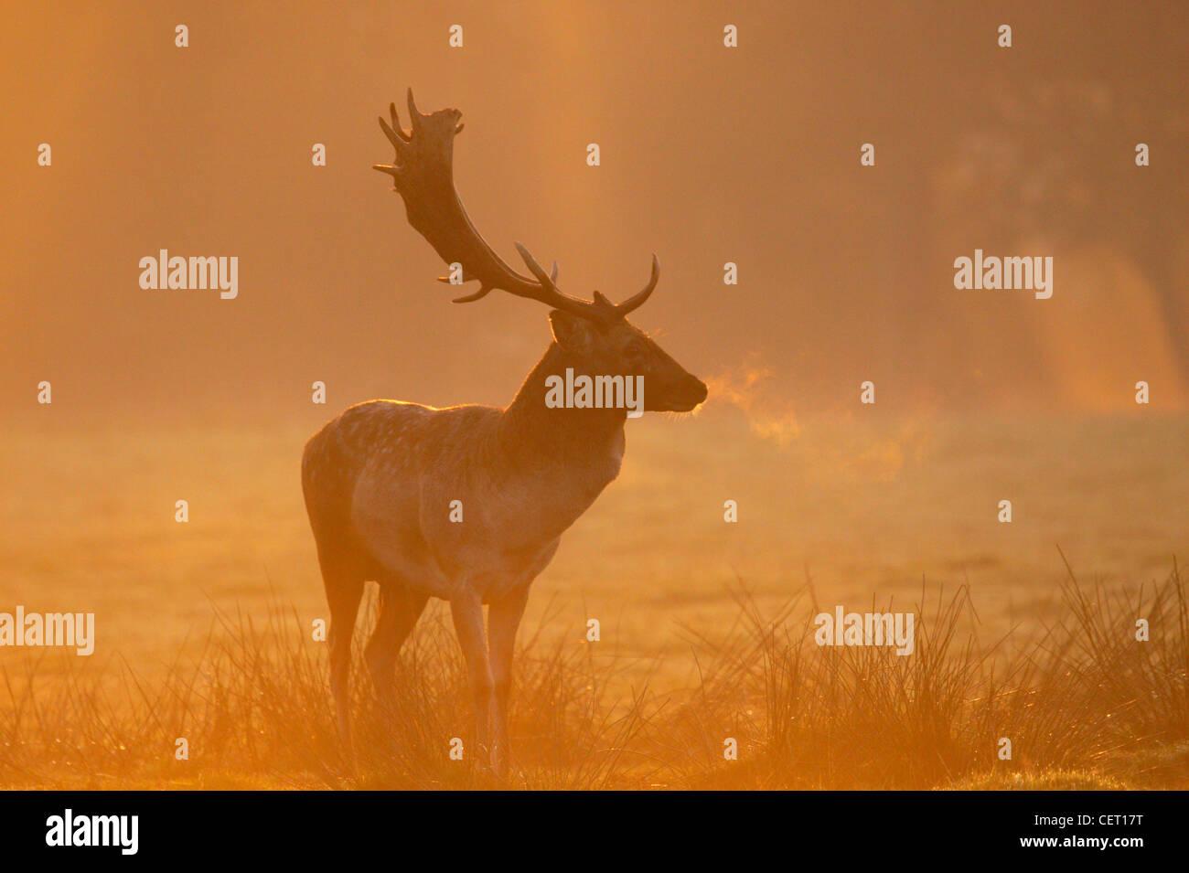 Un Gamo parado en Norfolk paisaje en la niebla de la mañana. Imagen De Stock