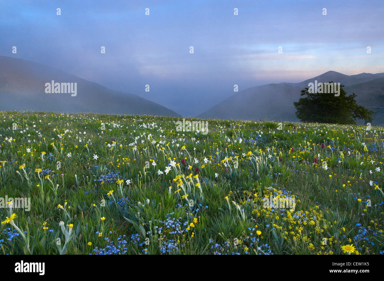 Flores silvestres creciendo a la Forca Canapine, Monti Sibillini National Park, Umbría, Italia. (NR) Foto de stock