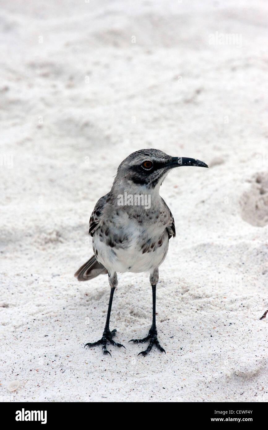 Mockingbird en Islas Galápagos Foto de stock