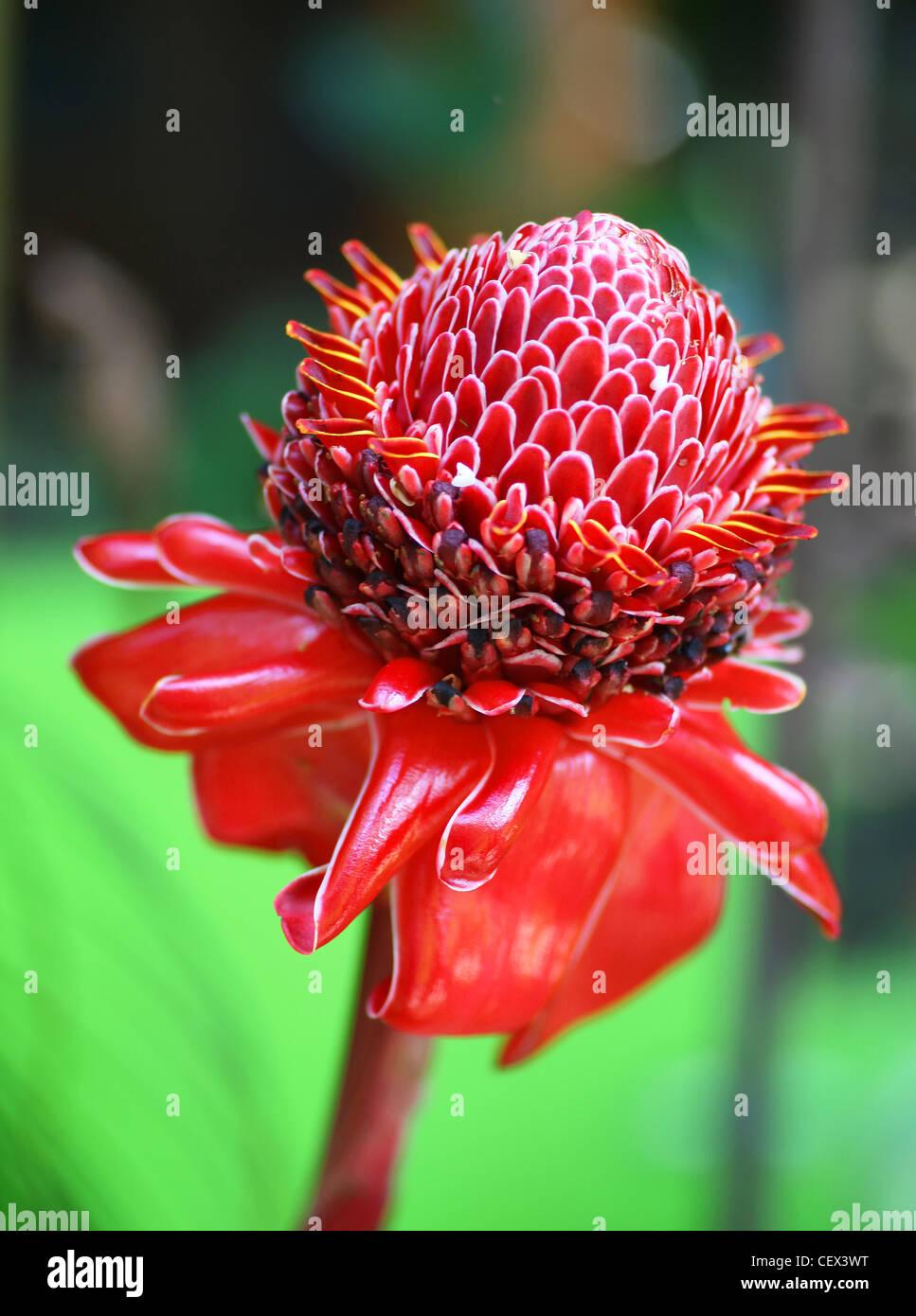 Planta de jengibre 'Red Torch' (Etlingera elatior) Foto de stock