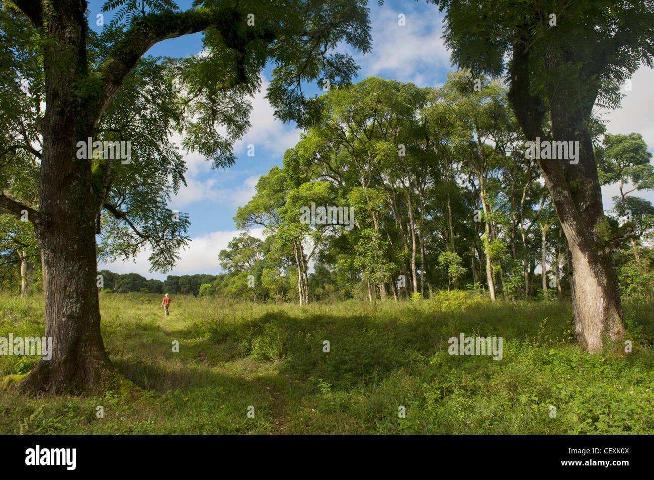 Una persona caminando por un sendero a través de los árboles; la isla Santa Cruz, Galápagos, Ecuador Foto de stock
