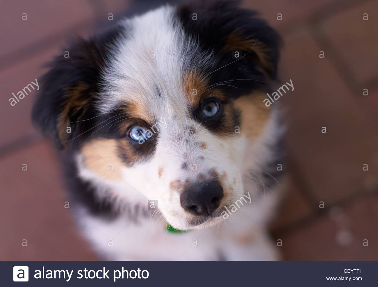 Un retrato de ojos azules, tricolores Border Collie cachorro, mirando hacia arriba con anhelo / inocentemente a Imagen De Stock
