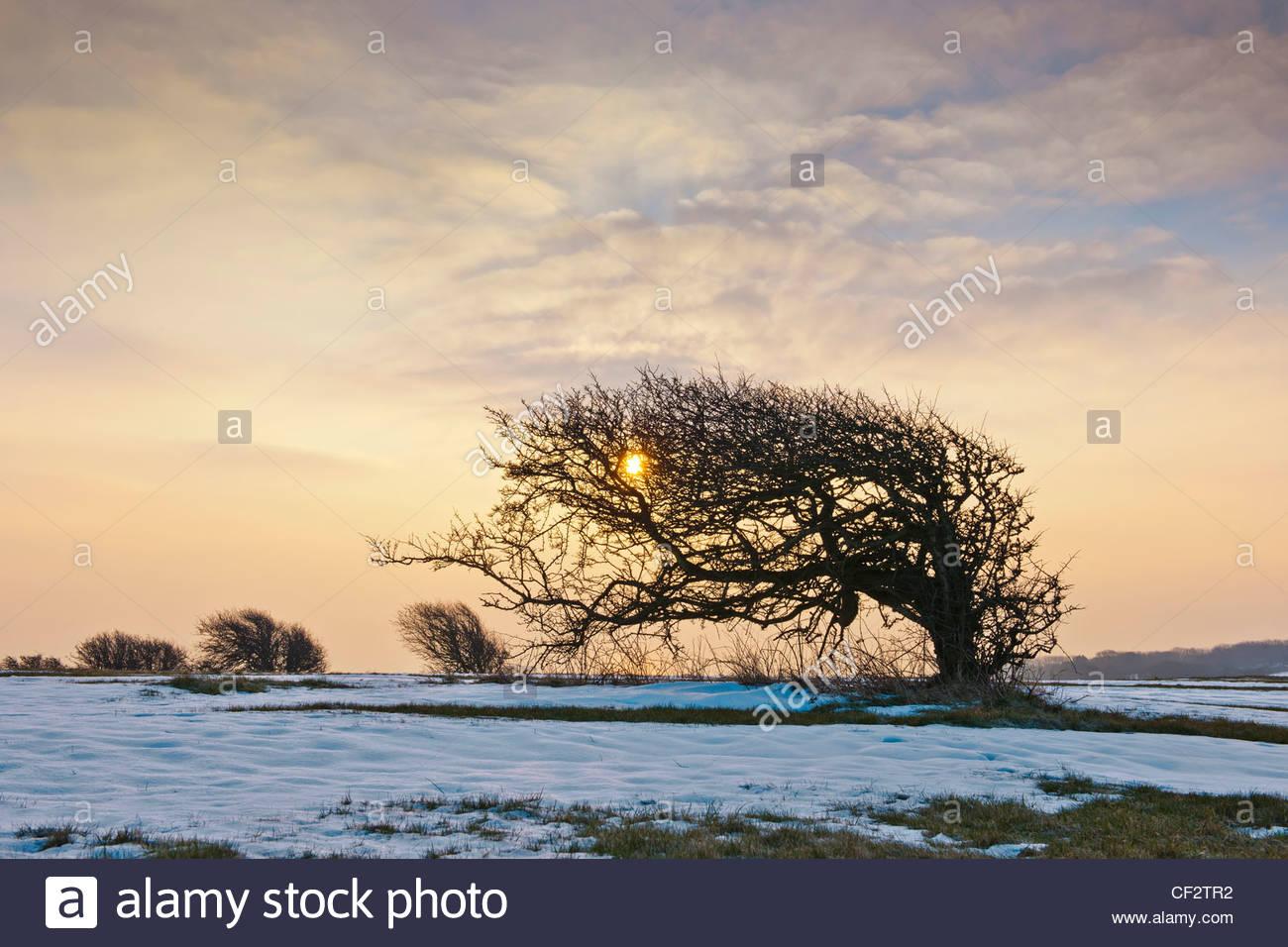 El viento barrió hawthron formado afectados árboles Warren Hill East Sussex Enero invernal paisaje cubierto Imagen De Stock