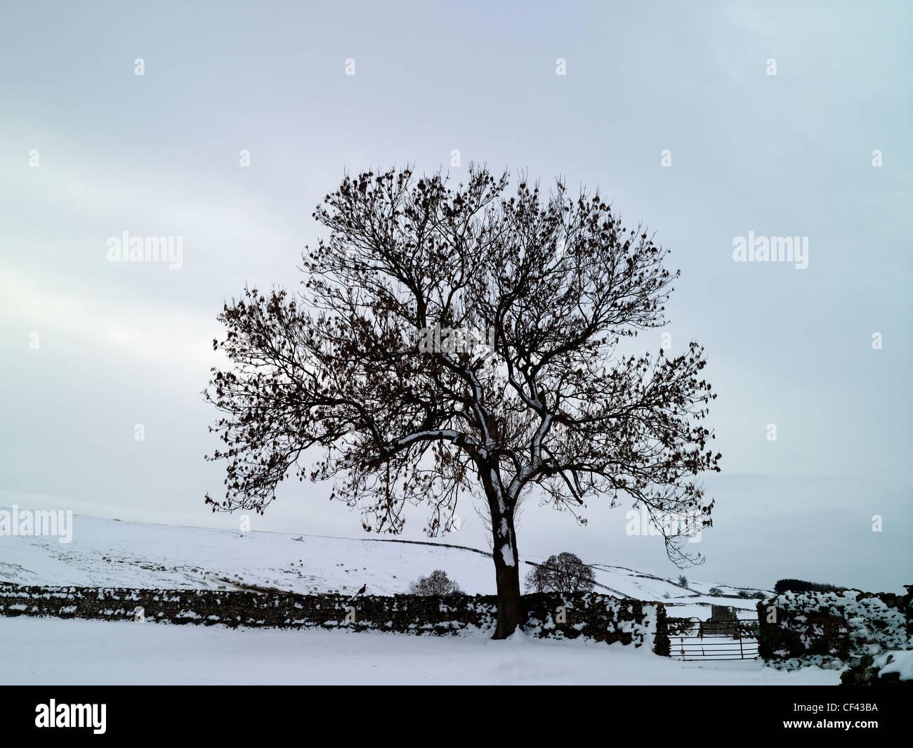 La nieve cubre el suelo de un árbol y pared drystone tradicionales en un rincón remoto de los valles de Imagen De Stock