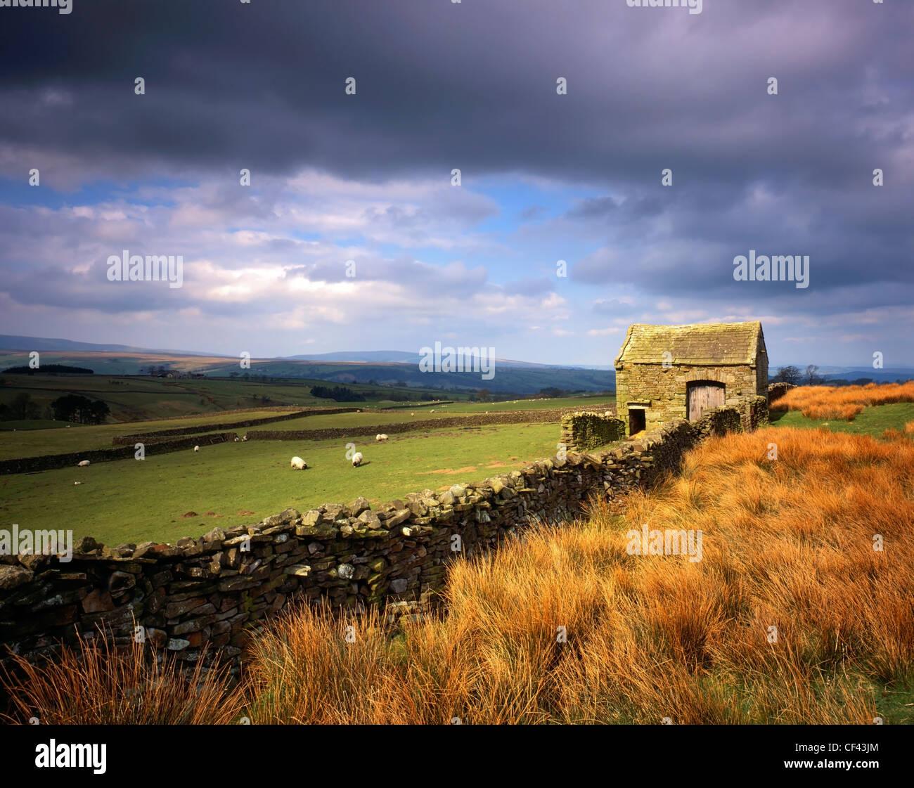 Ovejas pastando en un campo rodeado por una pared de piedra seca tradicional y granero en el bosque de Bowland. Imagen De Stock