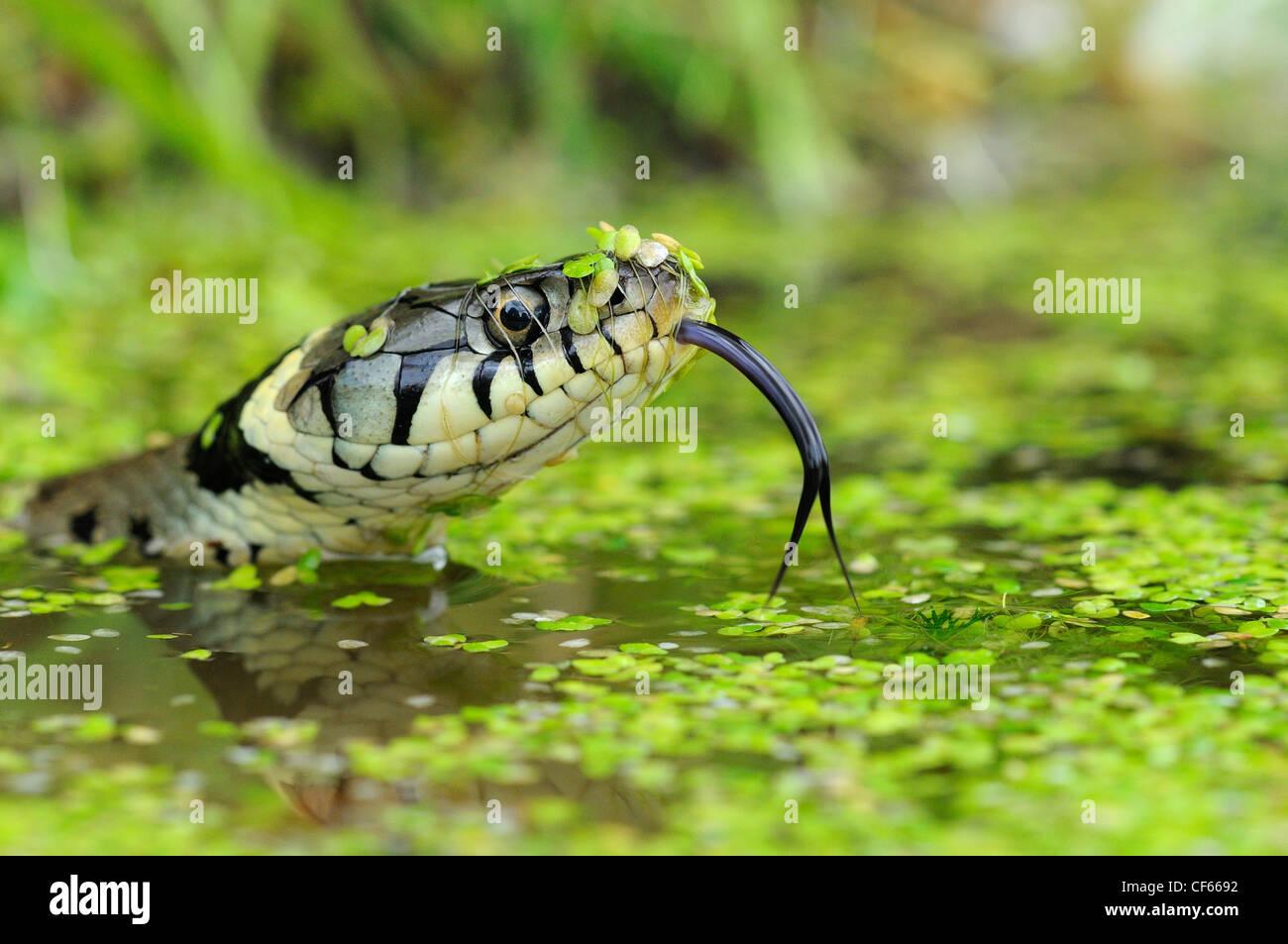 Una Culebra (Natrix natrix) en agua. Imagen De Stock