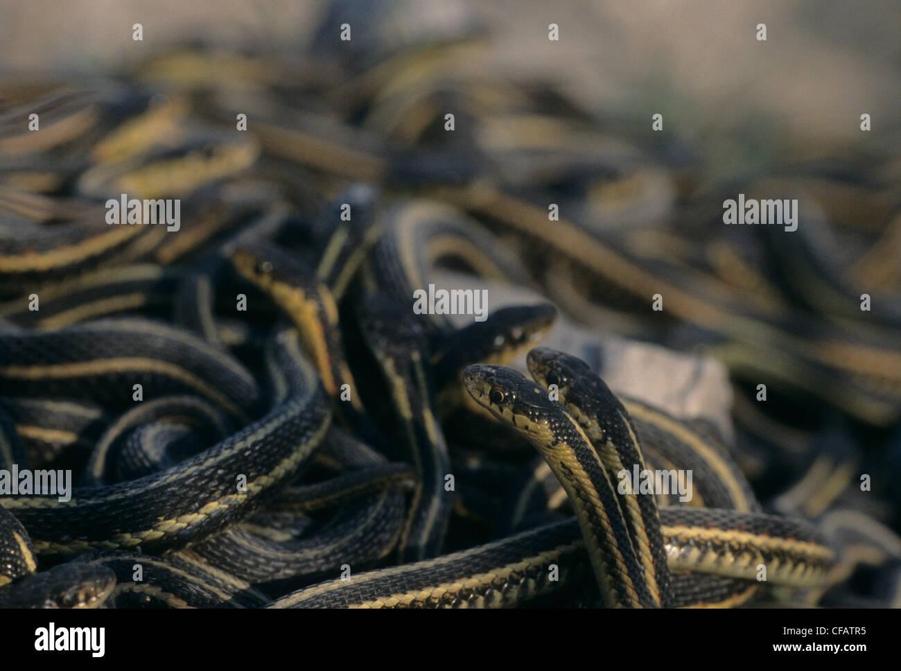 Acoplamiento de bola roja-sided garter serpientes en la primavera sale de la hibernación cerca de Inwood, Manitoba, Imagen De Stock
