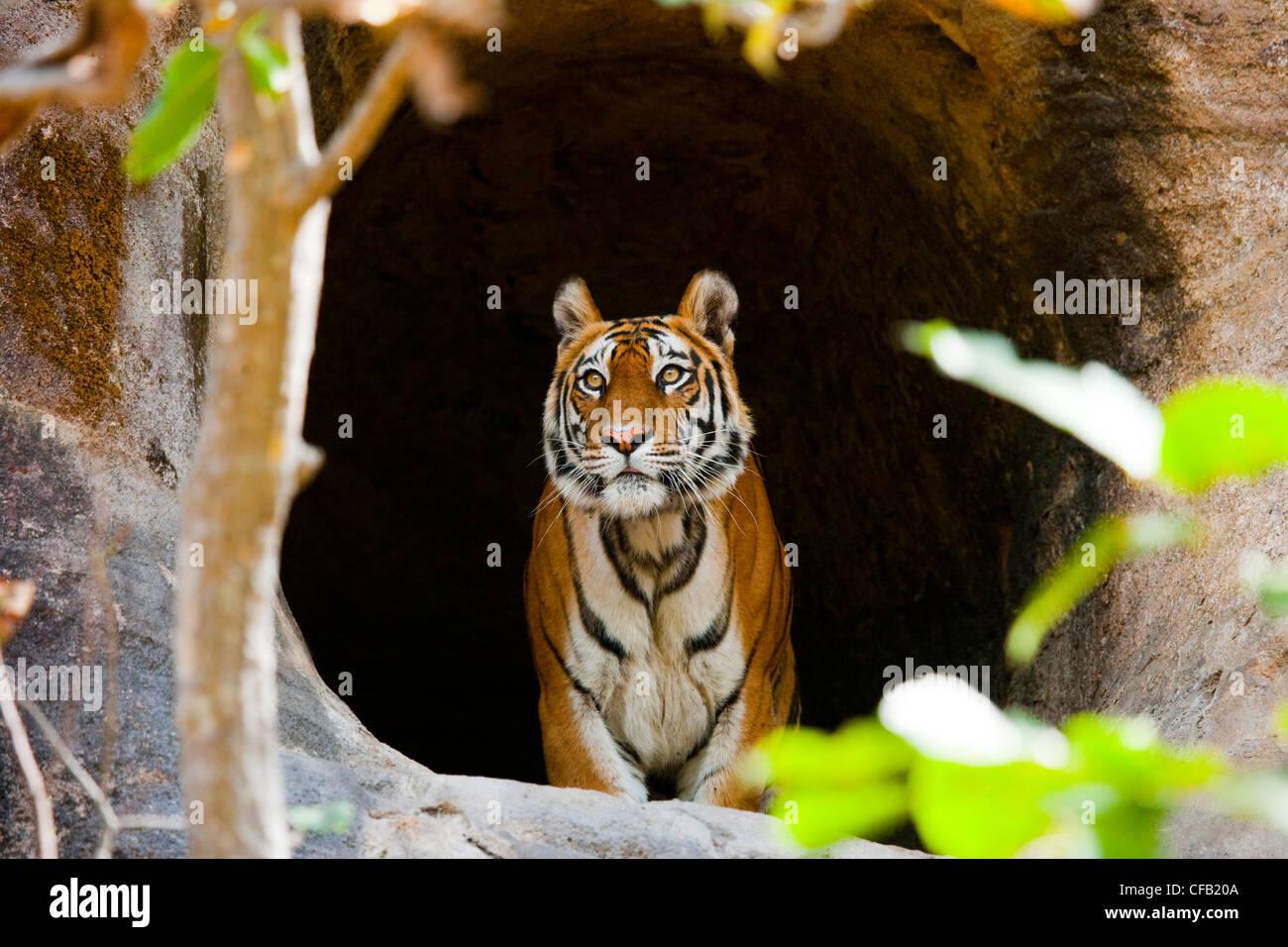Tigre de Bengala, el Parque Nacional de Bandhavgarh, en Madhya Pradesh, India Imagen De Stock
