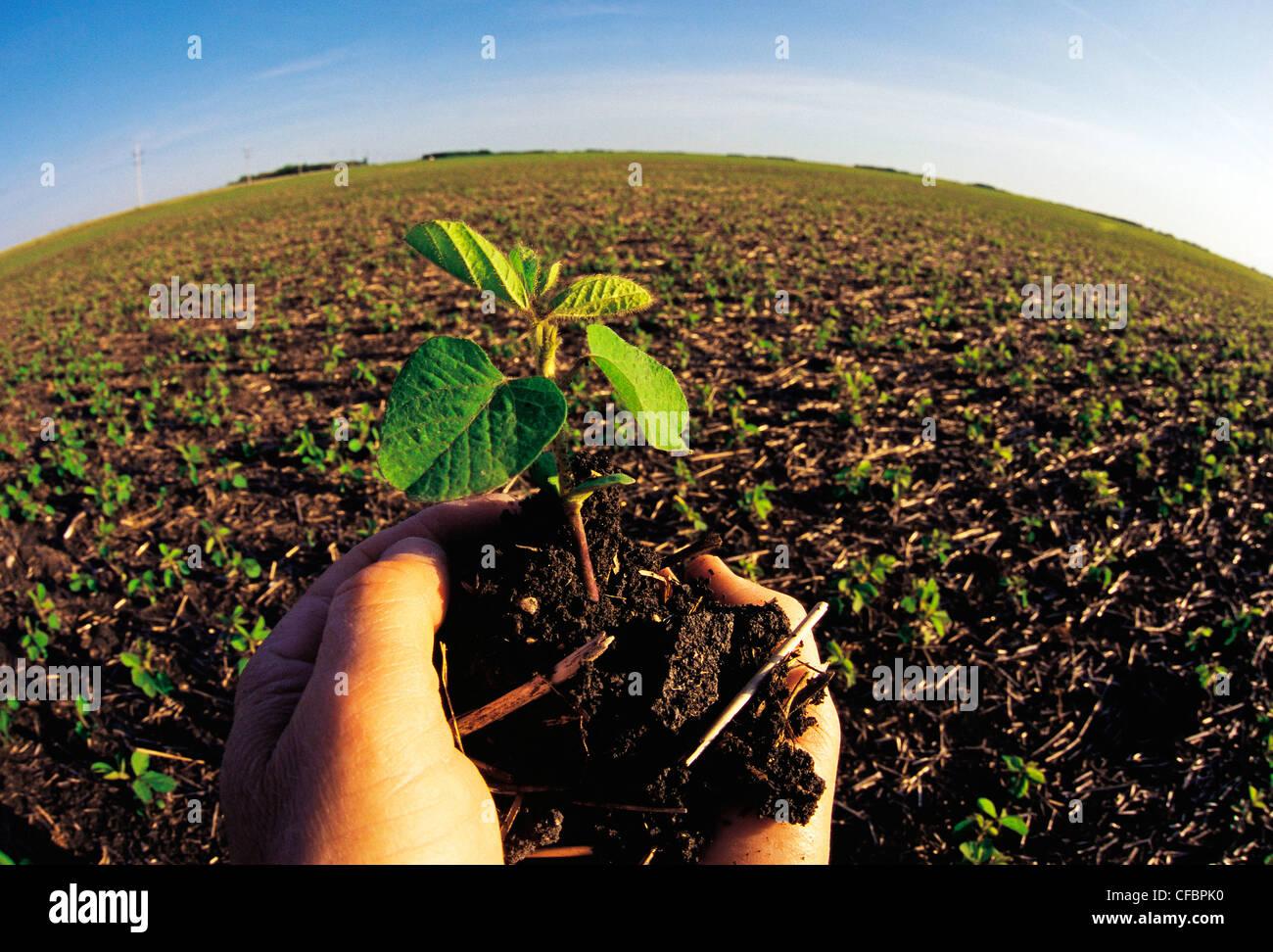 Mano sosteniendo el crecimiento temprano cerca de la planta de soya Dugald, Manitoba, Canadá Imagen De Stock