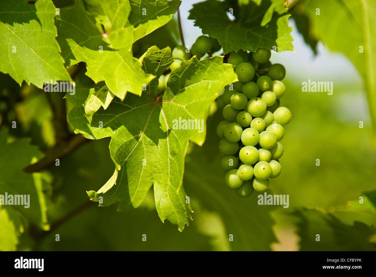Jóvenes uvas pinot gris, Niagara Peninsula. En Ontario, Canadá. Imagen De Stock