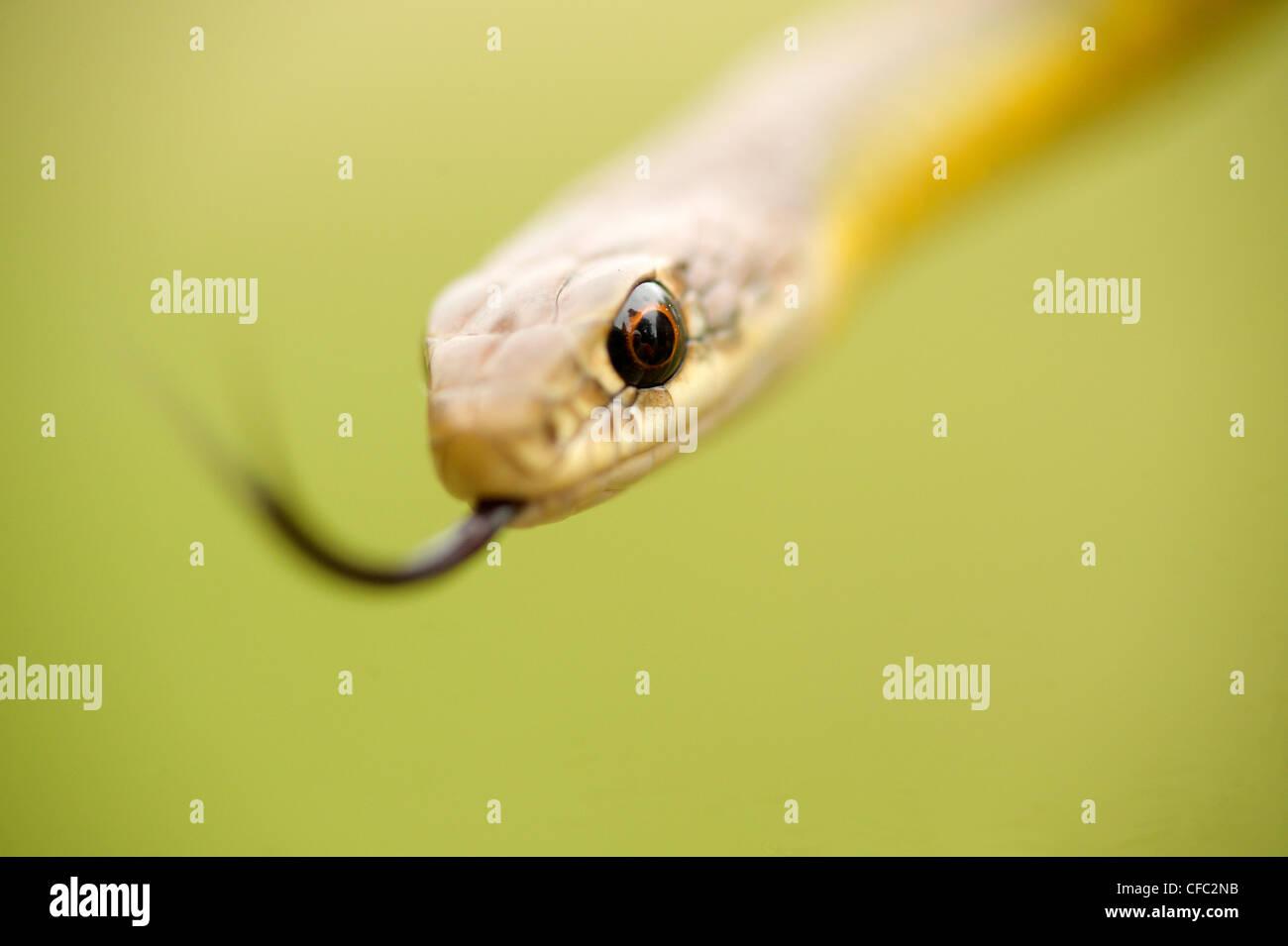 Amarillo-curva Racer (Coluber constrictor), Lago Blanco, Okanagan, Columbia Británica, Canadá Imagen De Stock