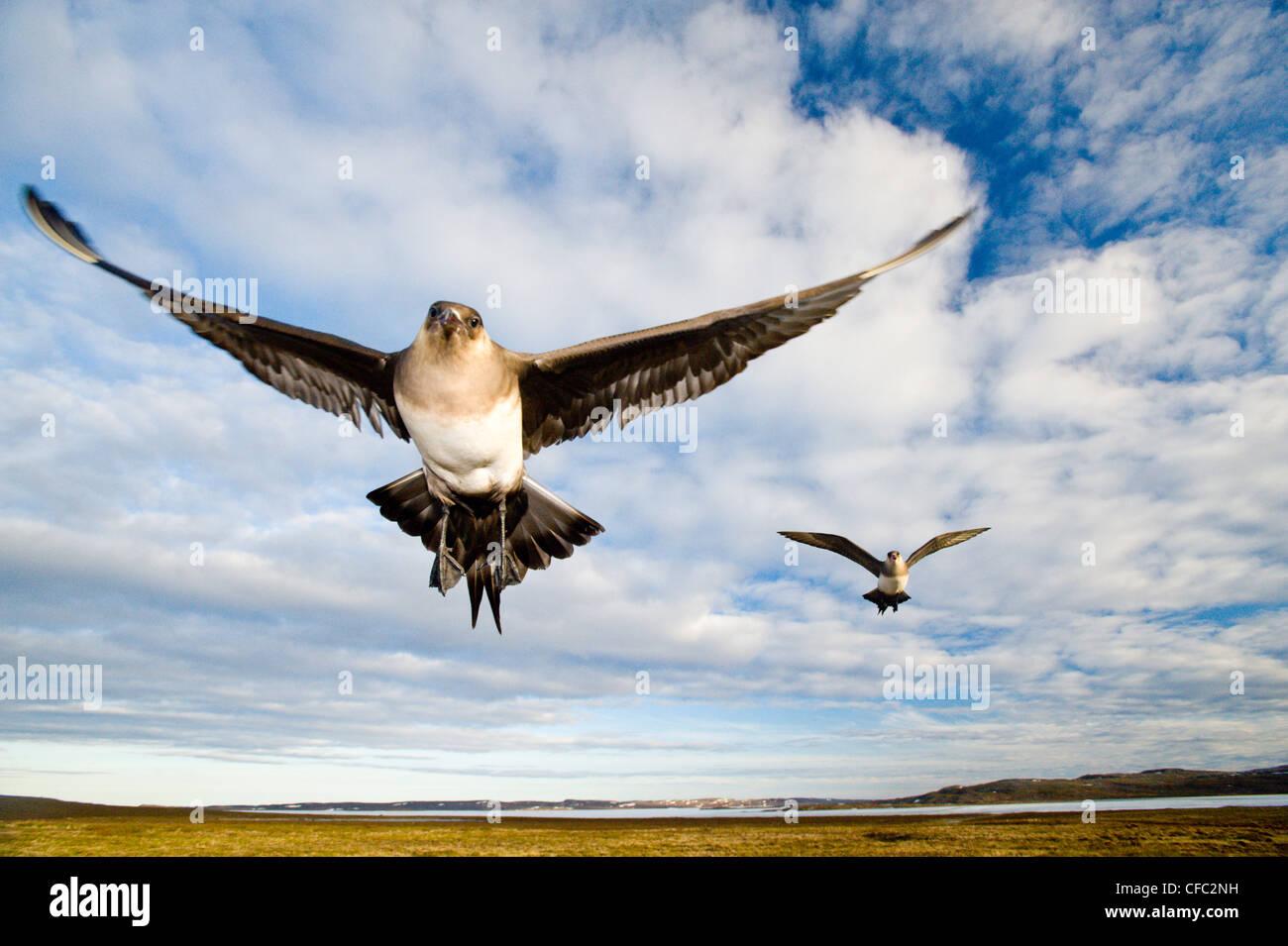 Jaegers parasitarias (Stercorarius parasiticus) defendiendo un nido cercano, Nunavut, Ártico Canadiense Foto de stock