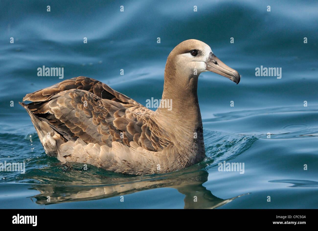 El albatros de patas negras de viaje off pelágicos Westport WA Imagen De Stock