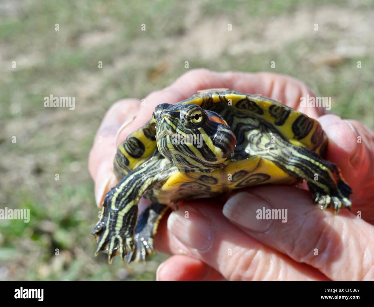 De orejas rojas, reptiles, tortugas acuáticas de Texas, log, pantano, Trachemys scripta elegans, baby, juvenil, Imagen De Stock