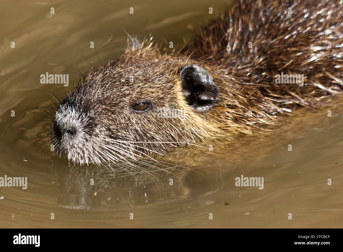 Coipo, Myocastor coypus, Myocastoridae, Plano, Texas, EE.UU., los animales herbívoros, den, especies invasoras, nutria, plagas, semi aquati Foto de stock