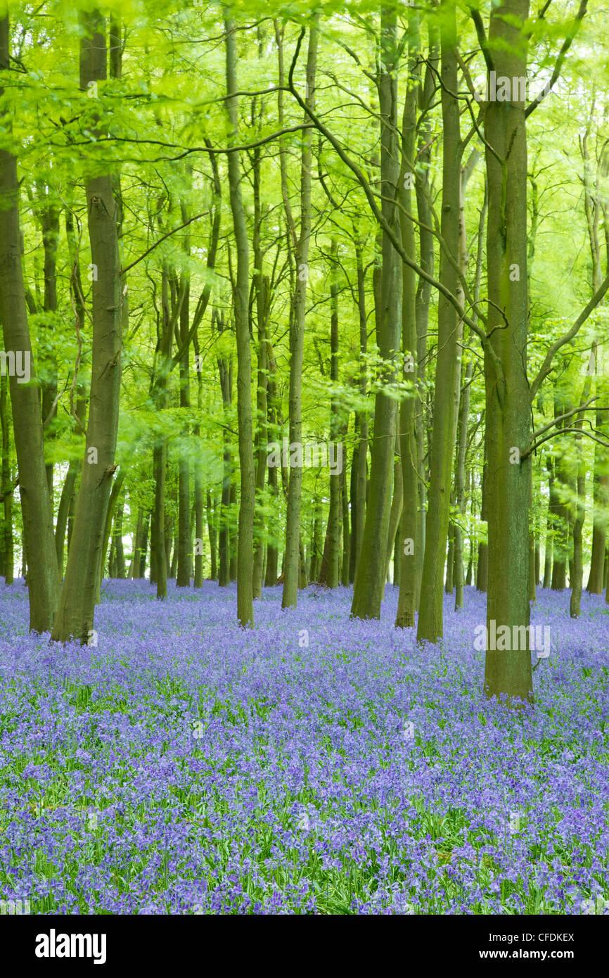 Las campánulas azules (Hyacinthoides non-scripta) en bosques, Ashridge Estate, Hertfordshire, Inglaterra, Reino Imagen De Stock