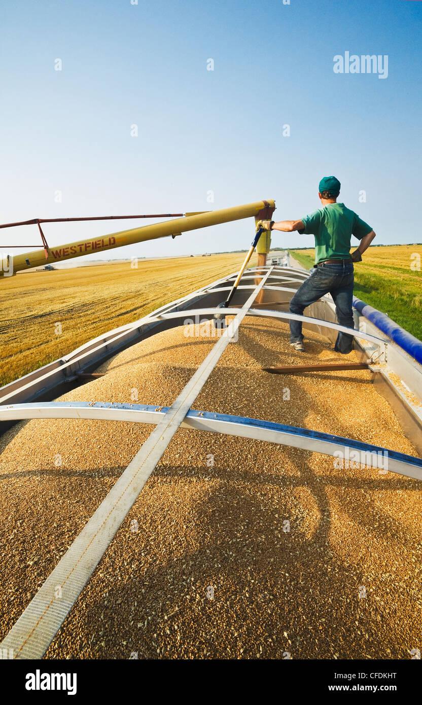 Un sinfín de cargas de trigo en una granja camión durante la cosecha, cerca de Lorette, Manitoba, Canadá Foto de stock