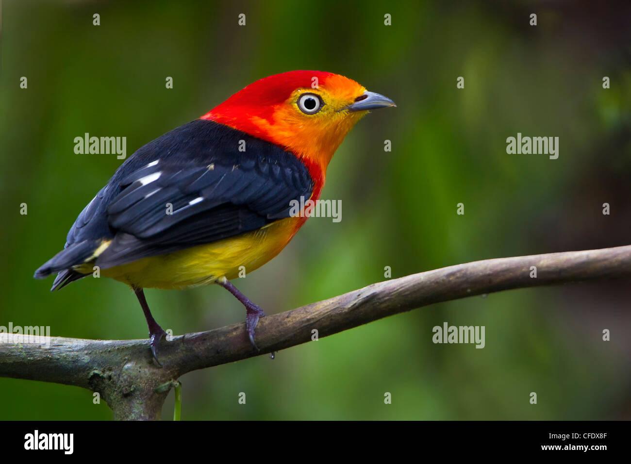 Band-tailed Manakin (Pipra fasciicauda) en Perú Imagen De Stock