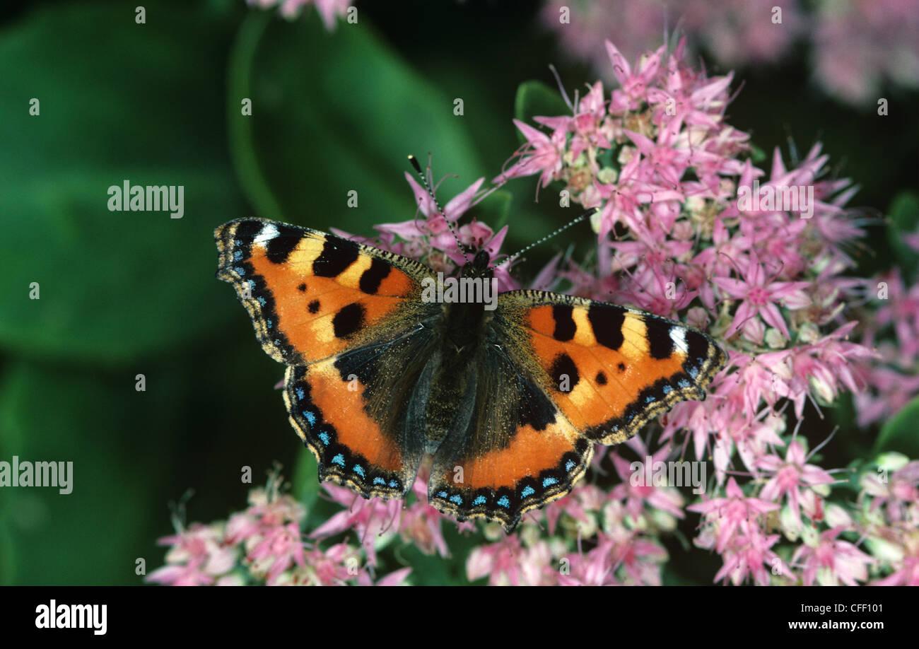 Small tortoiseshell butterfly (Aglais urticae) Mariposas en Sedum spectabile plant Foto de stock
