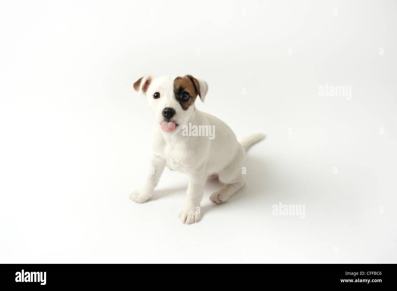 Puppy pegando su lengua fuera Imagen De Stock