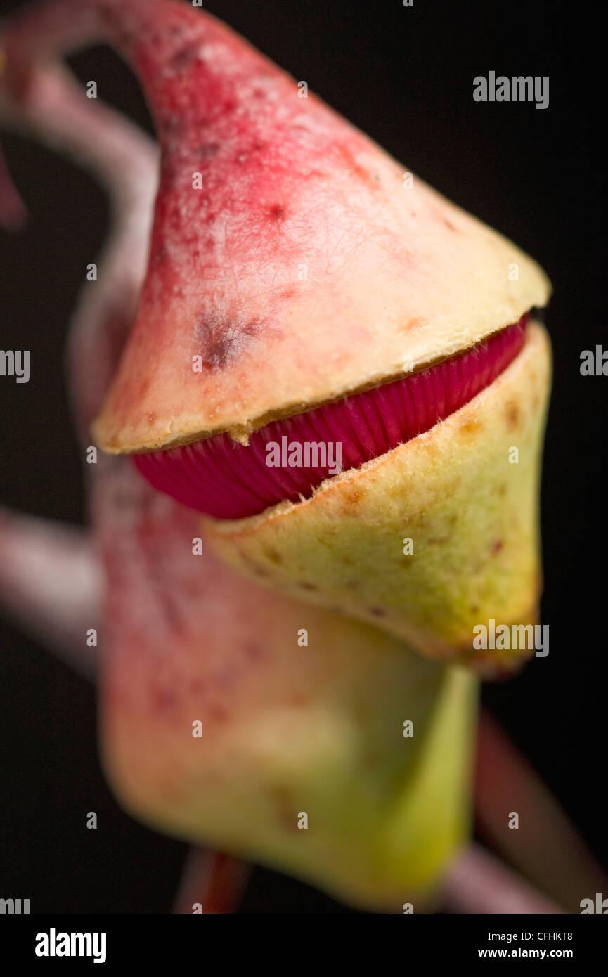 Eucalyptus caesia flor a punto de abrir Imagen De Stock