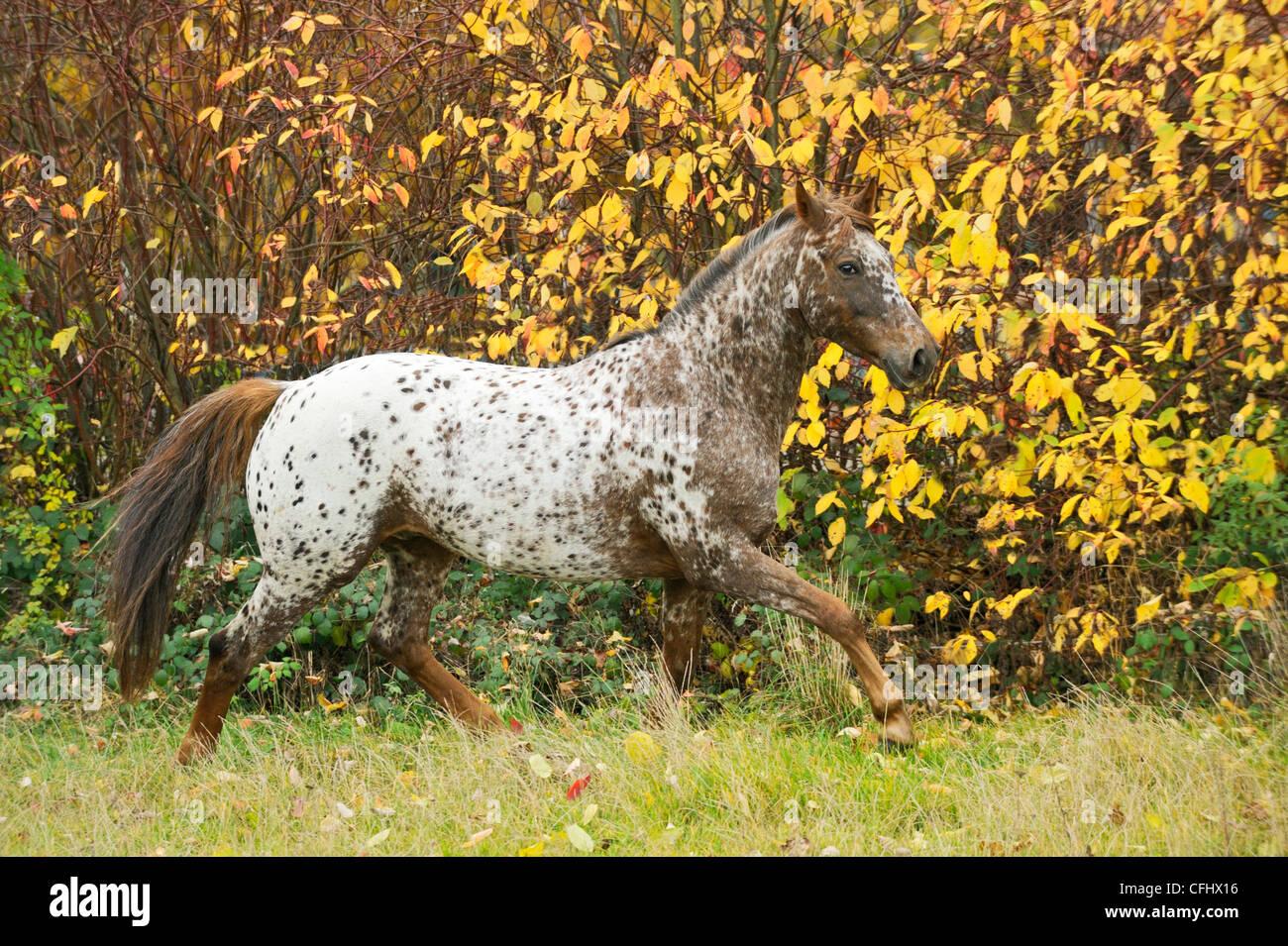 Appaloosa en otoño al trote en el campo Imagen De Stock