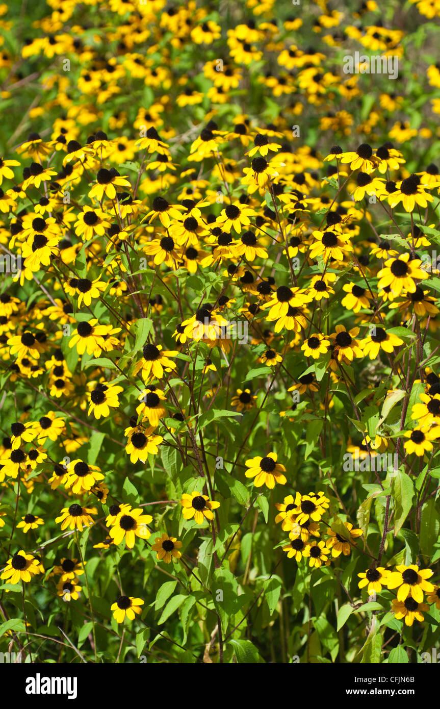 Muchas flores amarillas de Rudbeckia triloba, Brown Eyed Susan Imagen De Stock