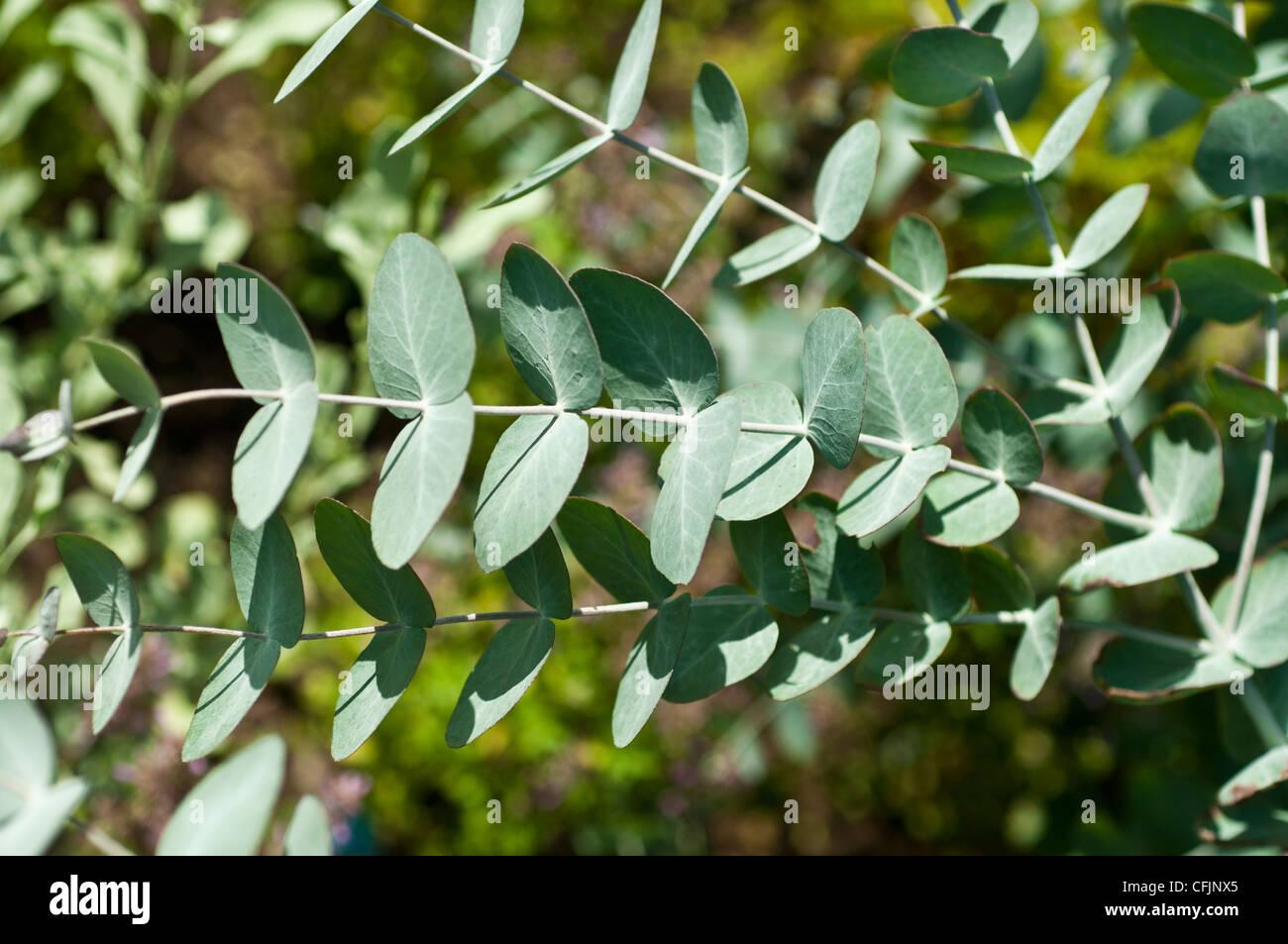 Apple, Argyle Mealy Stringybark, Eucalyptus cinerea var pendula Imagen De Stock