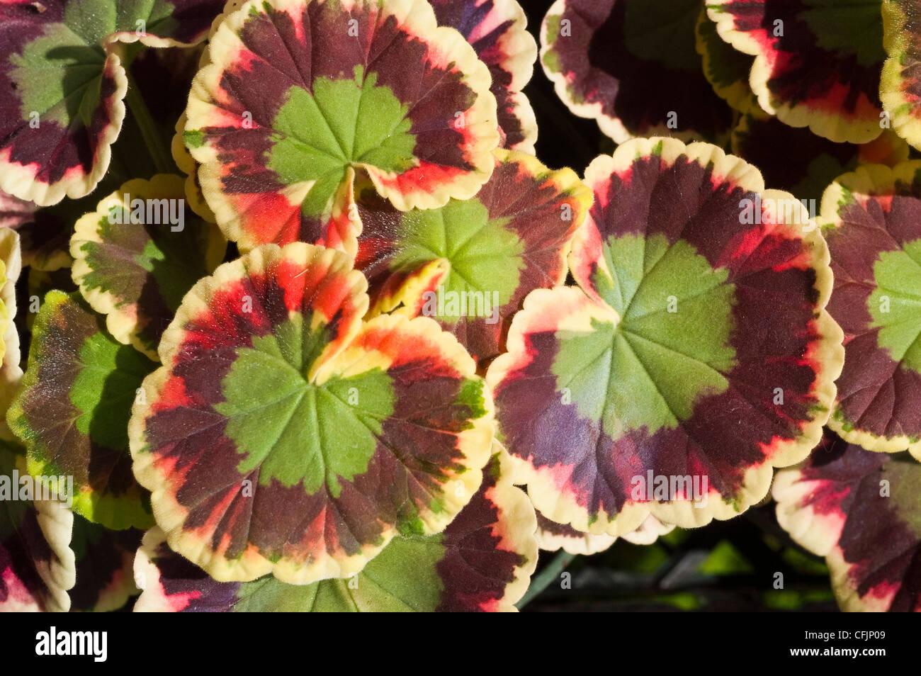 Blanco verde marrón fancy dejados follaje de geranio zonal o pelargonium Imagen De Stock