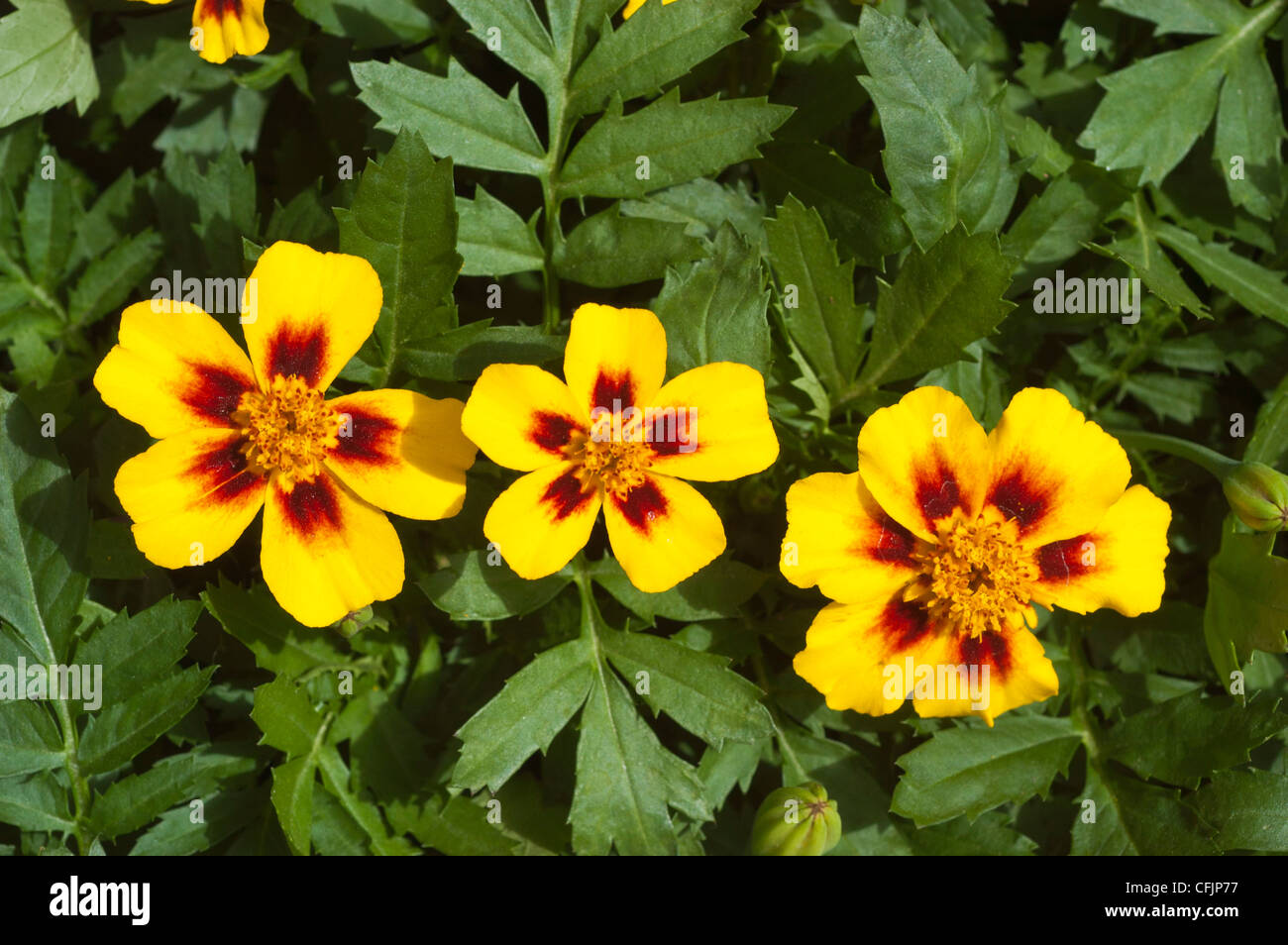 Amarillo marrón tres flores de caléndula discoteca Granada, Tagetes patula, francés Imagen De Stock