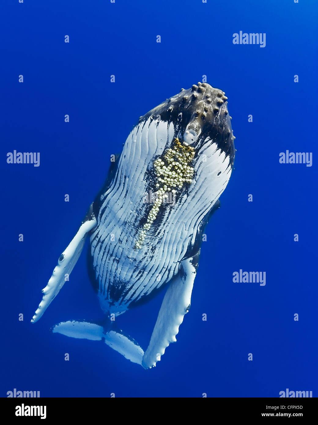 La ballena jorobada, Megaptera novaeangliae, con bellota parasitaria percebes colocadas debajo de la barbilla, Cornula diaderma, Hawaii, EE.UU. Foto de stock