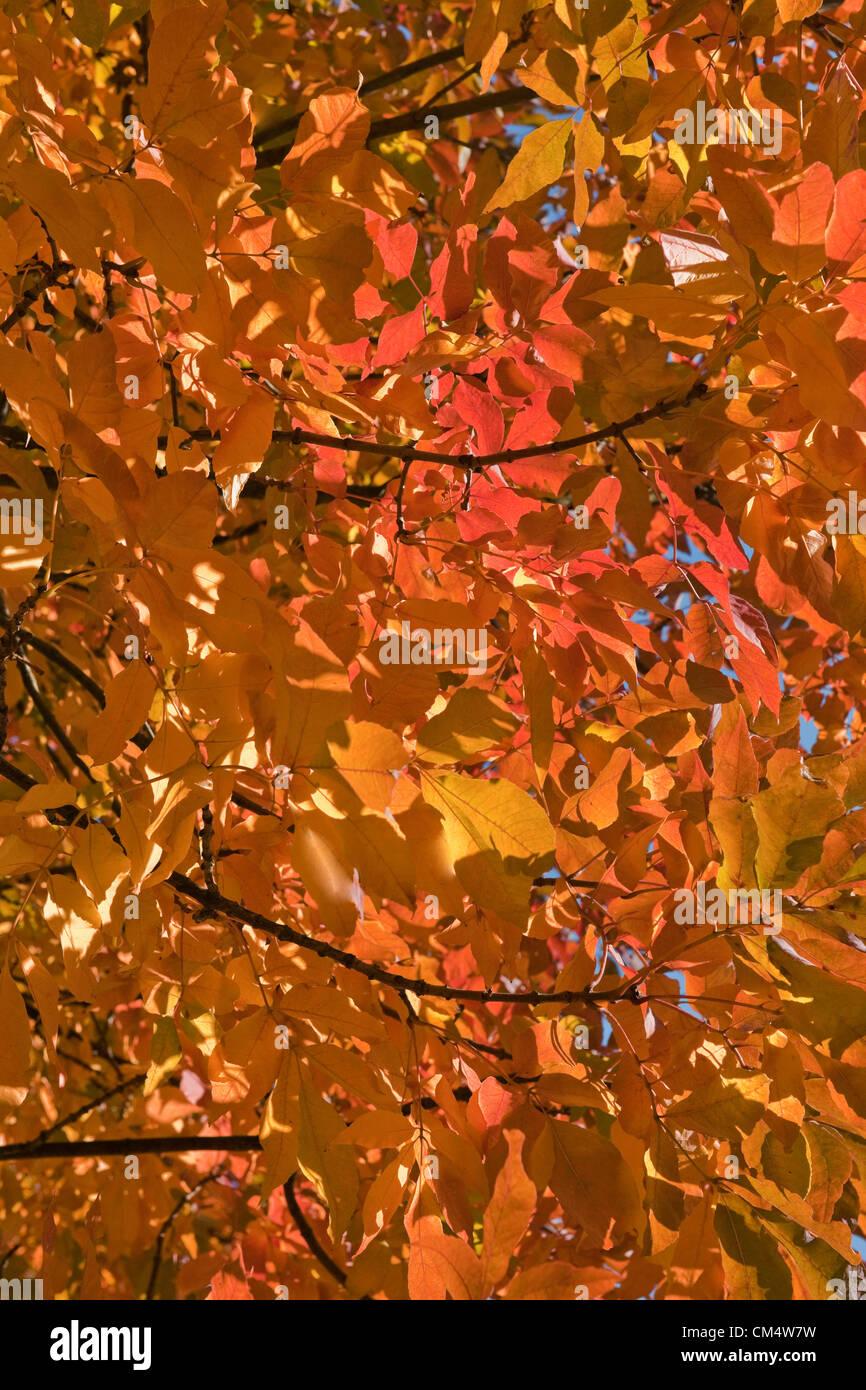 Jueves 4 de octubre de 2012 - El Royal Botanic Gardens, Kew, Surrey, Inglaterra, Reino Unido. Colores de otoño comienzan a manifestarse en todo su esplendor. Después de un verano muy húmedo la Comisión Forestal está prediciendo una gloriosa otoño de color en el Reino Unido. Foto de stock