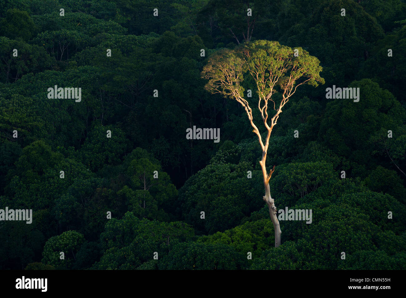 Árbol Menggaris emergentes sobresaliendo del dosel del bosque Dipterocarp de tierras bajas. Corazón del Imagen De Stock