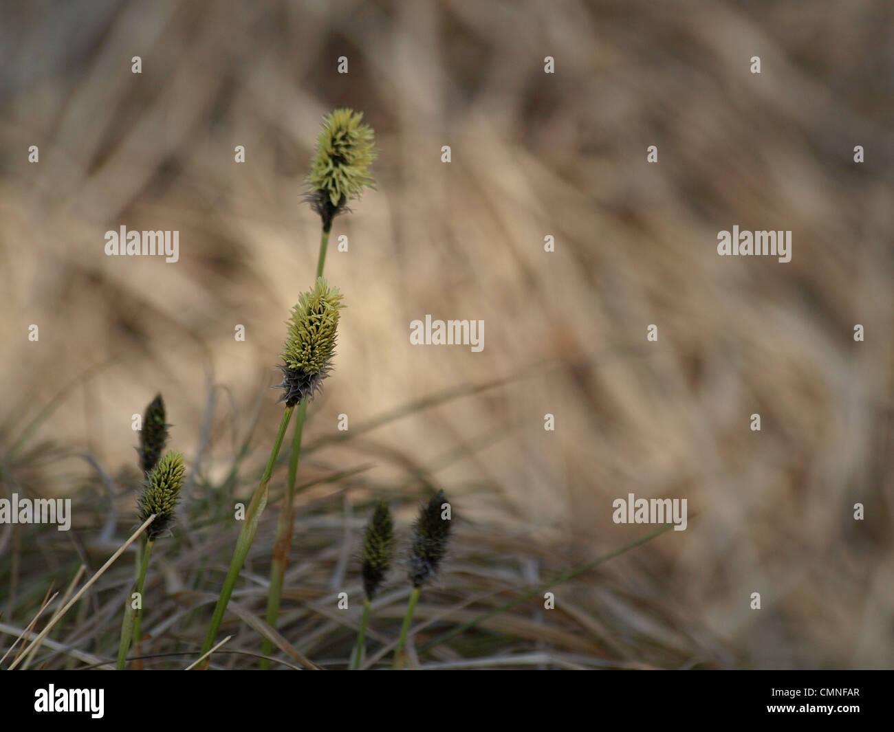 Florescence desde cola de Liebre / Eriophorum vaginatum césped de Algodón / Scheiden-Wollgras Foto de stock