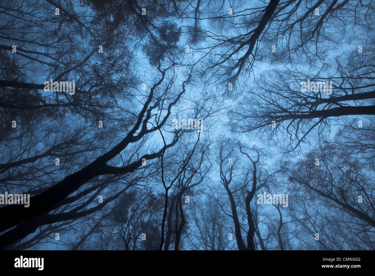 Mirando a través de una marquesina de madera de haya (Fagus sylvatica) en invierno, Peak District National Imagen De Stock