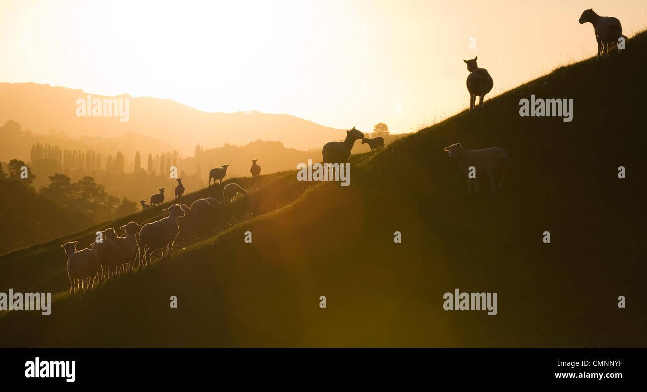 Ovejas en el atardecer en la granja de Roxborough Tirau, región de Waikato, Nueva Zelandia, 21 de marzo de Imagen De Stock