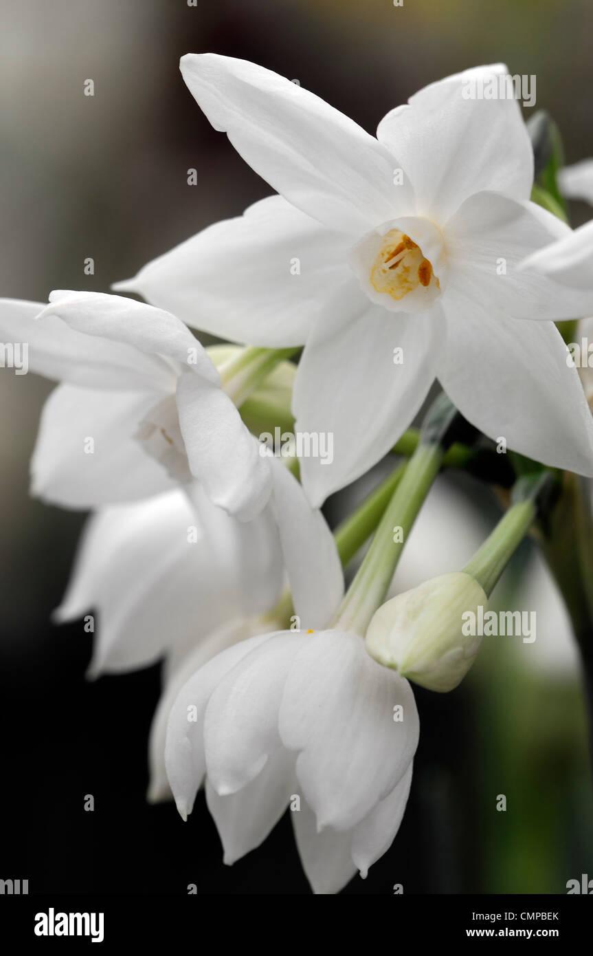 Narciso ziva paperwhites plantas de floracin de flores blancas