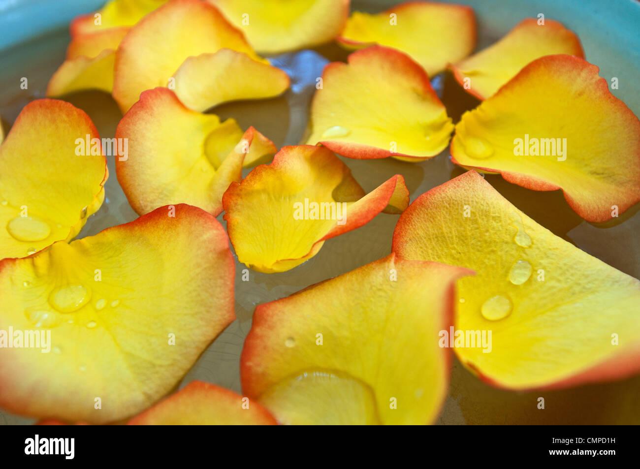 Los pétalos de la flor amarilla en el cuenco de agua Imagen De Stock