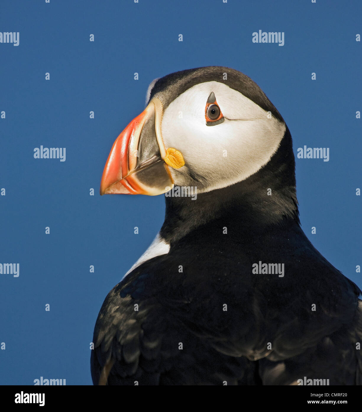 Atlantic Puffin en plumaje nupcial, Julio, Terranova Imagen De Stock