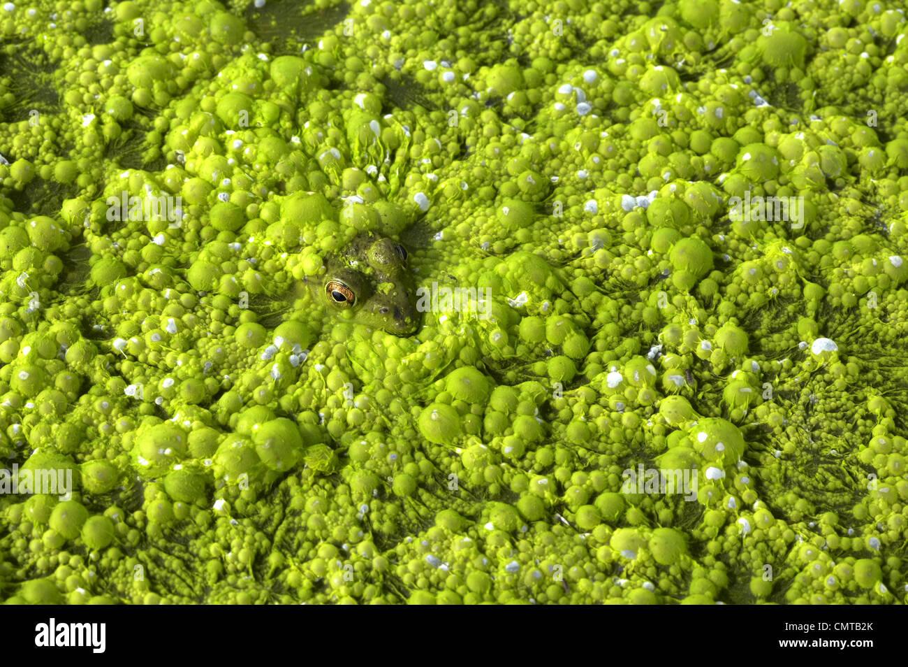 Close-up de rana en el estanque verde baboso, Georgian Bay, Ontario, Canadá Foto de stock