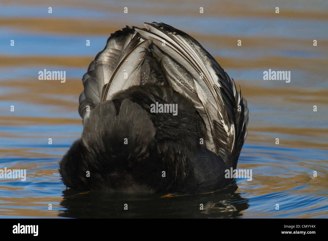 Focha Común (Fulica atra) con alas planteadas en amenaza mostrar Imagen De Stock