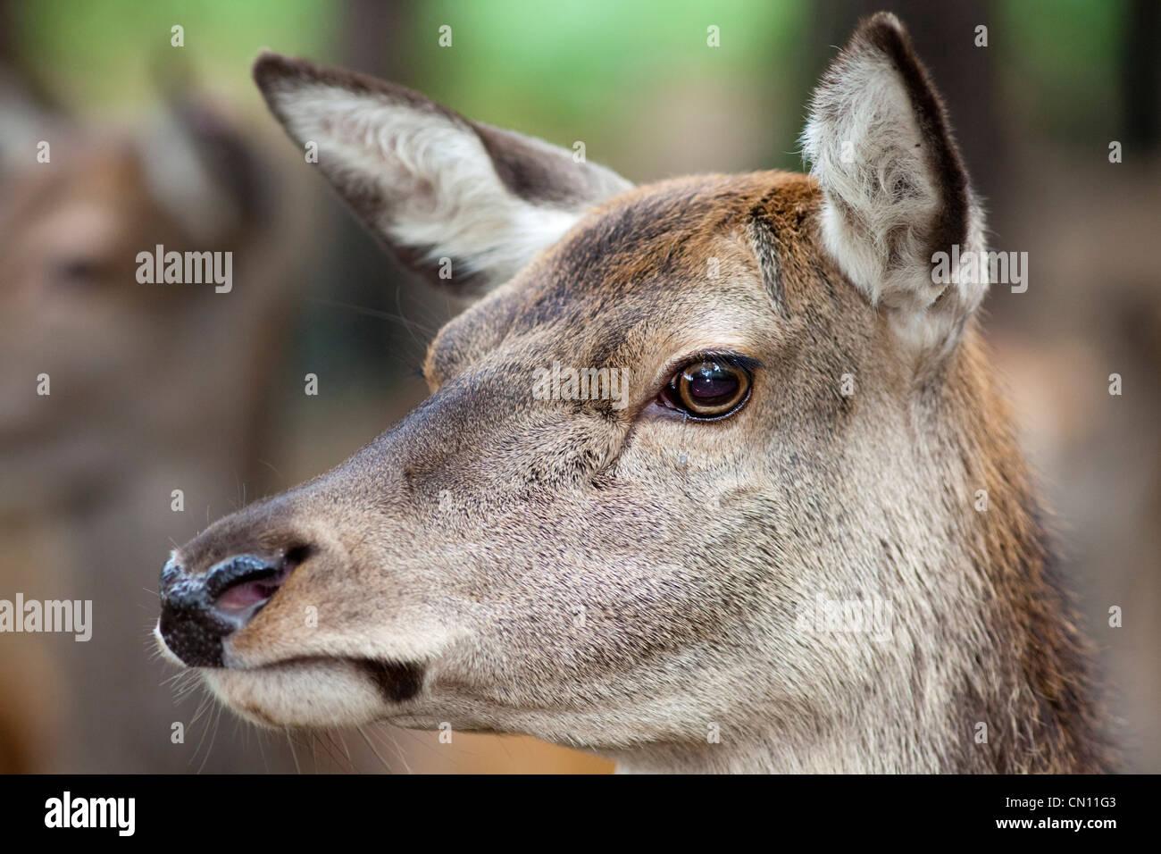 Red Deer hind - Cervus elaphus, cerca en el rostro y en la cabeza Imagen De Stock
